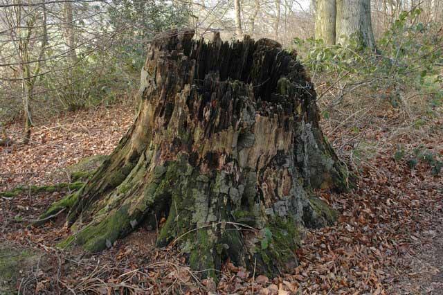 Rotton-Tree-Stump